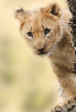 Rundreise Tansania: Babylöwe