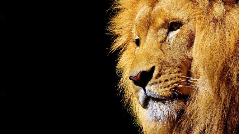 Privatrundreise Südafrika: Löwe in Südafrika