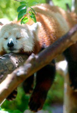 Privatreise, private Rundreise Bhutan: Roter Panda