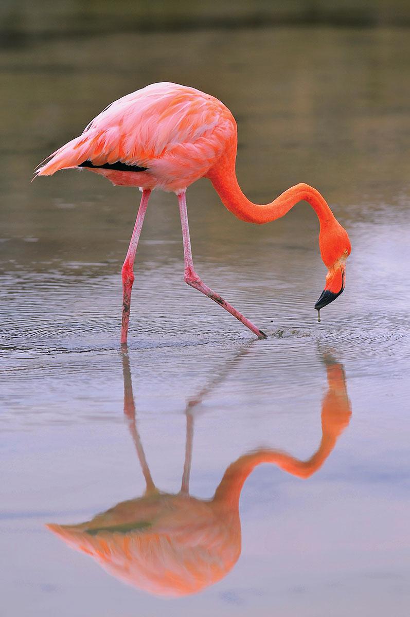 Silver Origin Flamingo